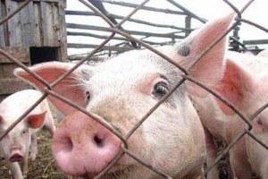 Крупный агрохолдинг намерен инвестировать около 3 миллиардов рублей в новгородское свиноводство