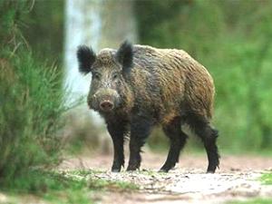 В Холмском районе пять диких кабанов погибли от африканской чумы свиней