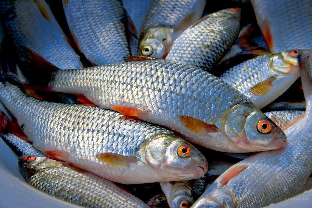 Новгородские рыбоводы к концу года планируют вырастить 580 тонн рыбы