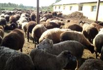 В Волотовском районе развивается овцеводство