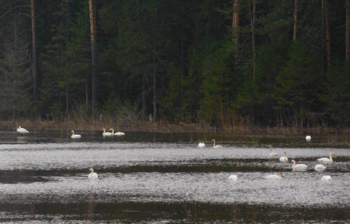 На озере в Любытинском районе уже неделю живёт стая белых лебедей