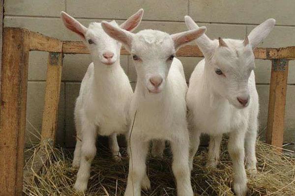 В Новгородской области появится агропромкомплекс на 3 000 коз