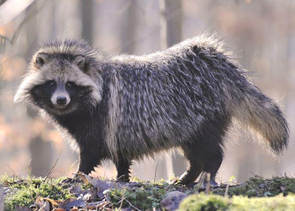 В Волоте на подворье напала бешеная енотовидная собака