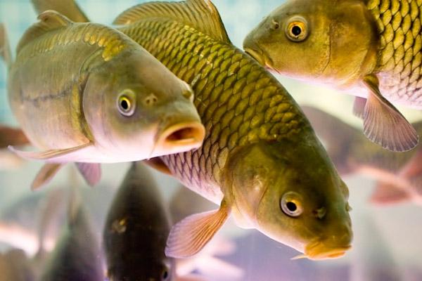 Сергей Митин: «В планах правительства Новгородской области — увеличить производство рыбы»