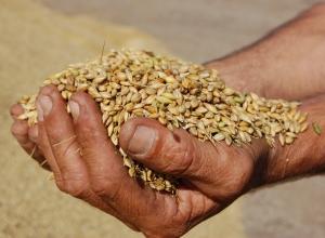 В новгородской деревне Миголощи украли тонну зерна