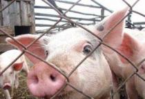 В Волотовском районе 6 нелегальных мигрантов строили свиноферму