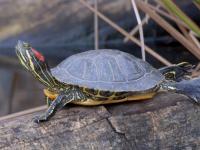 Американская красноухая черепаха из Валдайского озера нашла себе хозяина