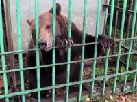 Медведицу Манюню хотят забрать в Москву и в Опеченский Посад