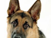 Собака Салли обнаружила убийцу 30-летнего новгородца