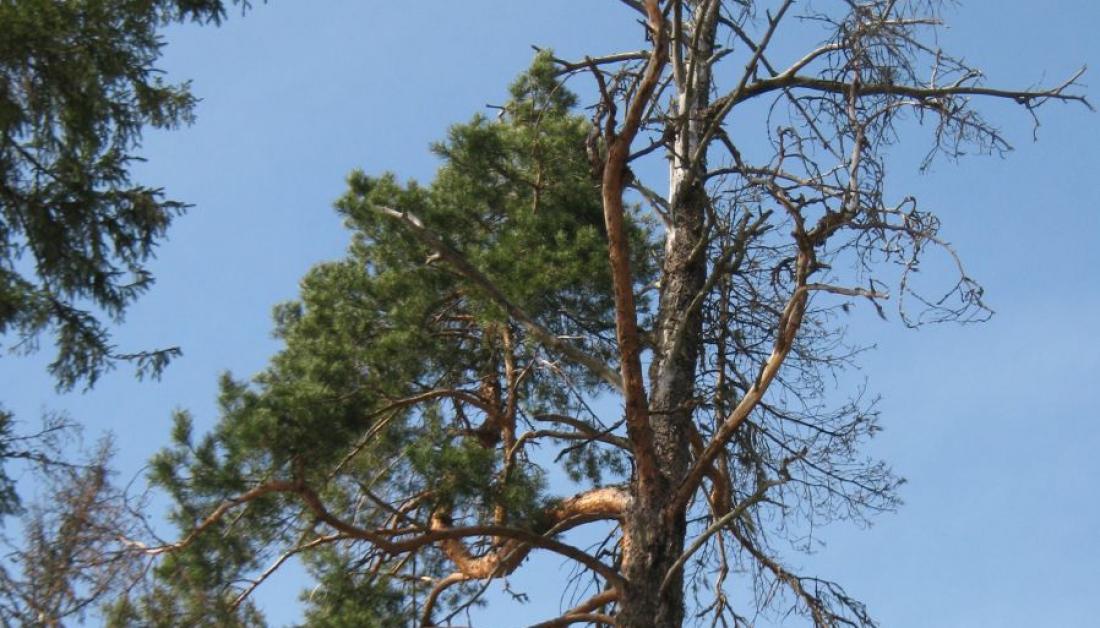 Неменее 130 гектаров леса вНовгородской области поражены смоляным раком