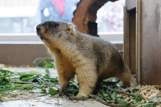 Сурки изстоличного зоопарка проспят собственный «именной» праздник