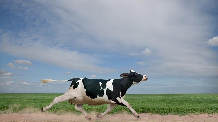 Власти Болгарии помиловали корову Пенку, сбежавшую заграницы европейского союза