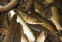 30 га рыборазводных прудов в Новгородской области снова начали использовать