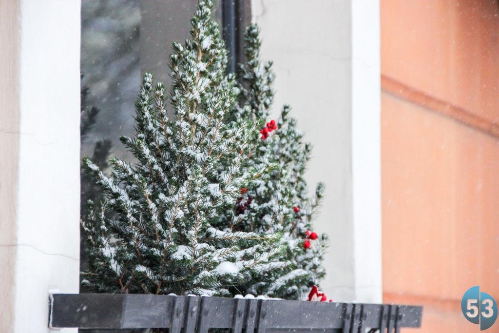 Законопослушные новгородцы смогут приобрести новогодних красавиц