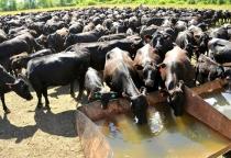 В Старорусском районе реализуется проект по производству мраморной говядины