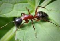 В Чудове судебным приставам предстоит организовать уничтожение муравьев