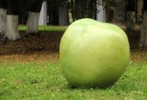 В Антонове «выросли» гигантские яблоки