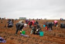 Правительство Новгородской области вышло на уборку картофеля