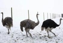 «Ваш вопрос/наш ответ»: выживание страусов в холодном новгородском климате
