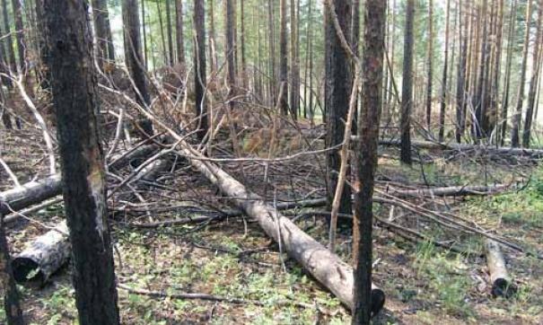 Житель Демянского района незаконно вырубил лес на 200 000 рублей