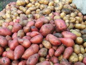 Три хозяйства Новгородской области опробуют экспериментальные семена картофеля