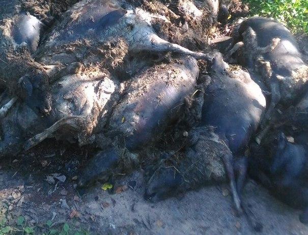 В Новгородской области обнаружили две свалки трупов овец