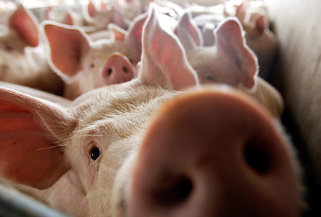 Россельхознадзор предлагает сократить численность дикого кабана в шесть раз из-за случаев АЧС