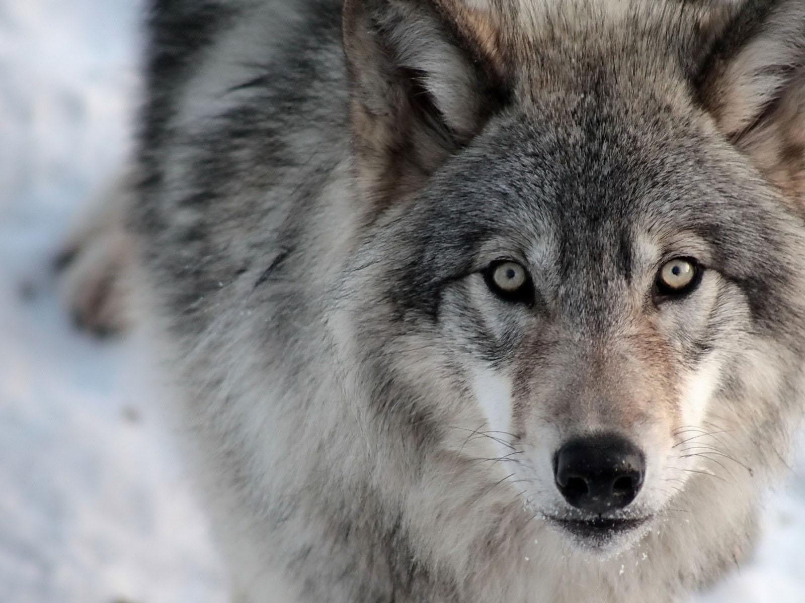 В Хвойнинском районе волки оставляют от собак лишь кровь и шерсть