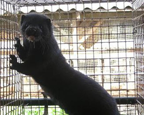 Конкурсный управляющий и глава Солецкого района опровергают, что в зверохозяйстве гибнут животные