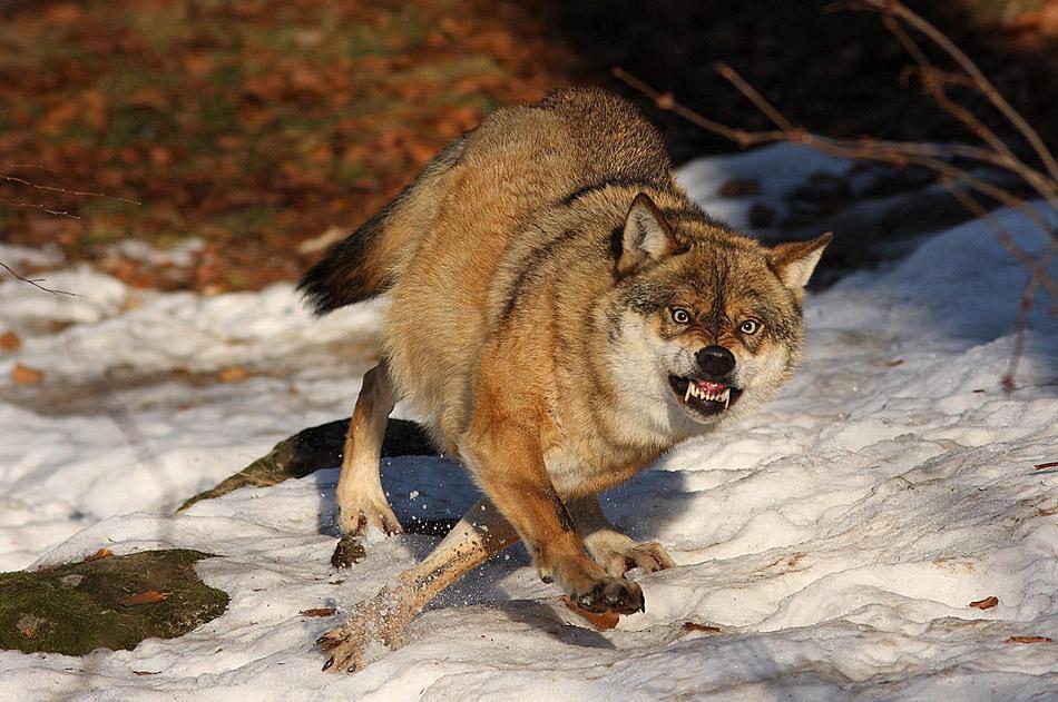 В Старорусском районе стая волков загрызла трёх овец