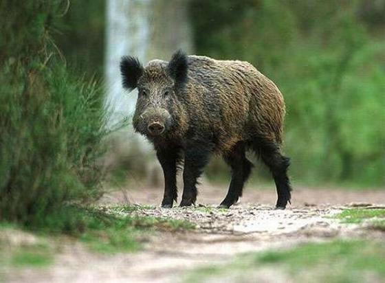 В Новгородской области откроют охоту на 771 кабана