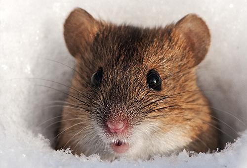 В Шимском районе выявлено шесть случаев геморрагической лихорадки из-за грызунов