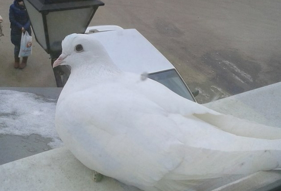 Фото: неожиданно появившийся белый голубь целый день воркует на окне пестовчанина