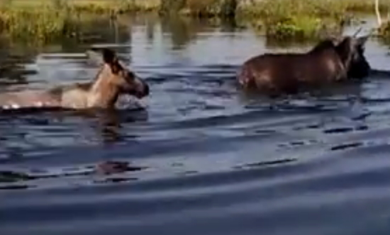 Новгородским студентам показали купающихся лосей и медведя на охоте