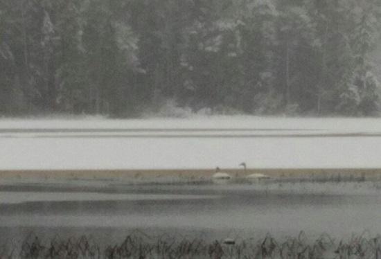 Андрей Коткин: спасать парочку лебедей на озере в Хвойнинском районе нет смысла