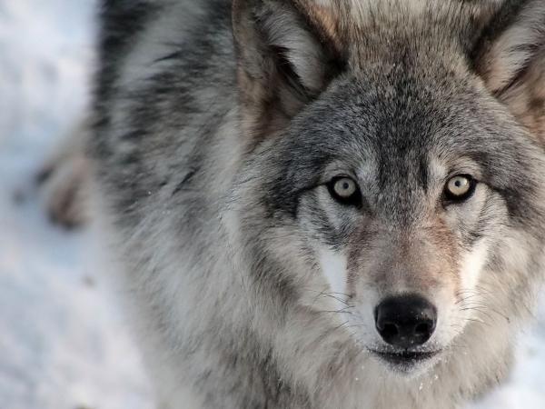 В Маревском районе разрешили уничтожить несколько волков