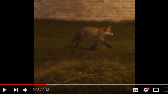 Новгородцы продолжают сталкиваться с лисами в кремлевском парке. Видео