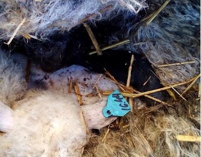 За последние полгода в Новгородской области обнаружена третья крупная свалка трупов овец