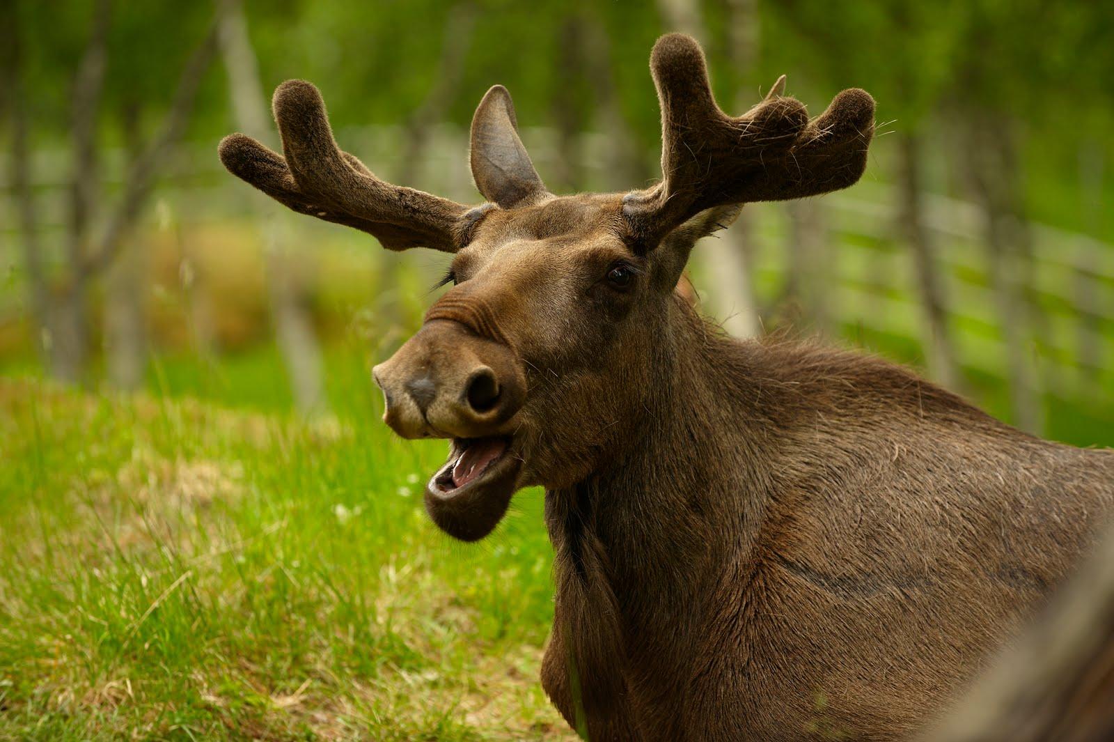 В Новгородском районе сбили молодого лося