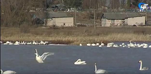 В Новгородской области до конца весны обосновалась стая лебедей