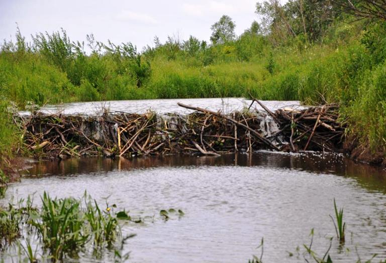 В Новгородской области бобры терроризируют деревню