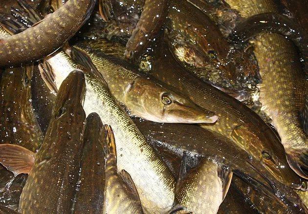 Любишь щуку, люби и вес ее считать: впервые за долгое время установлены правила для рыбаков