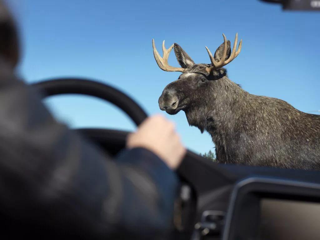 В Маловишерском районе легковушка сбила лося