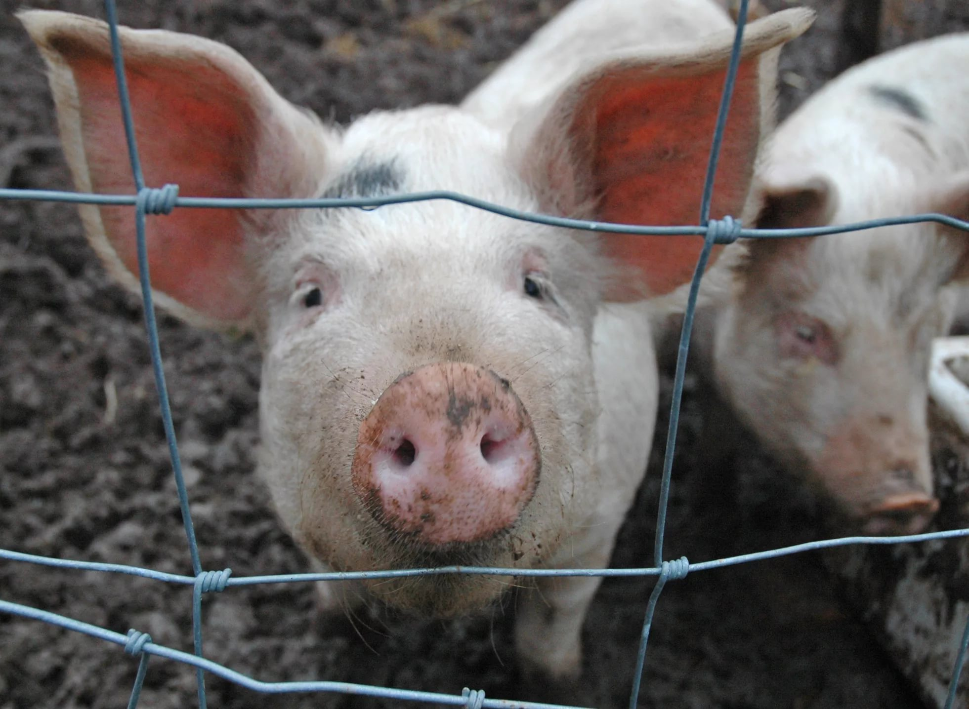 Сегодня в Старорусском районе выявлен очаг африканской чумы свиней