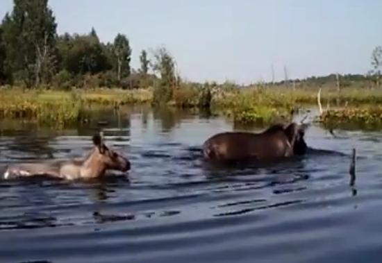 Видео: компания лосей отдыхает в бобровых прудах Рдейского заповедника