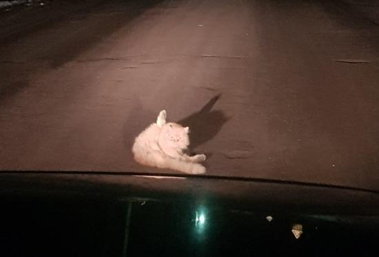 В Демянске автолюбители смиренно ждали, когда кот освободит проезжую часть