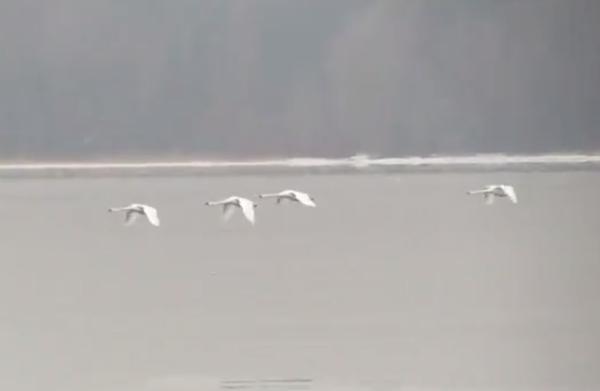 Видео: лебеди в январе летят над Валдайским озером