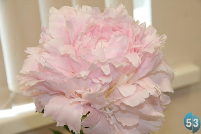 Купить пионы цветы в великом новгороде
