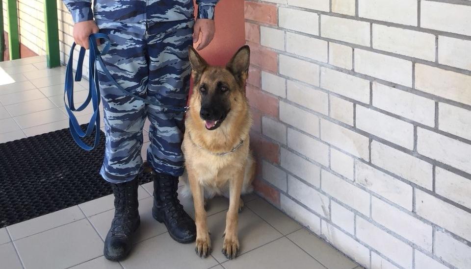 Новгородская овчарка Салли поймала разбойника в маске