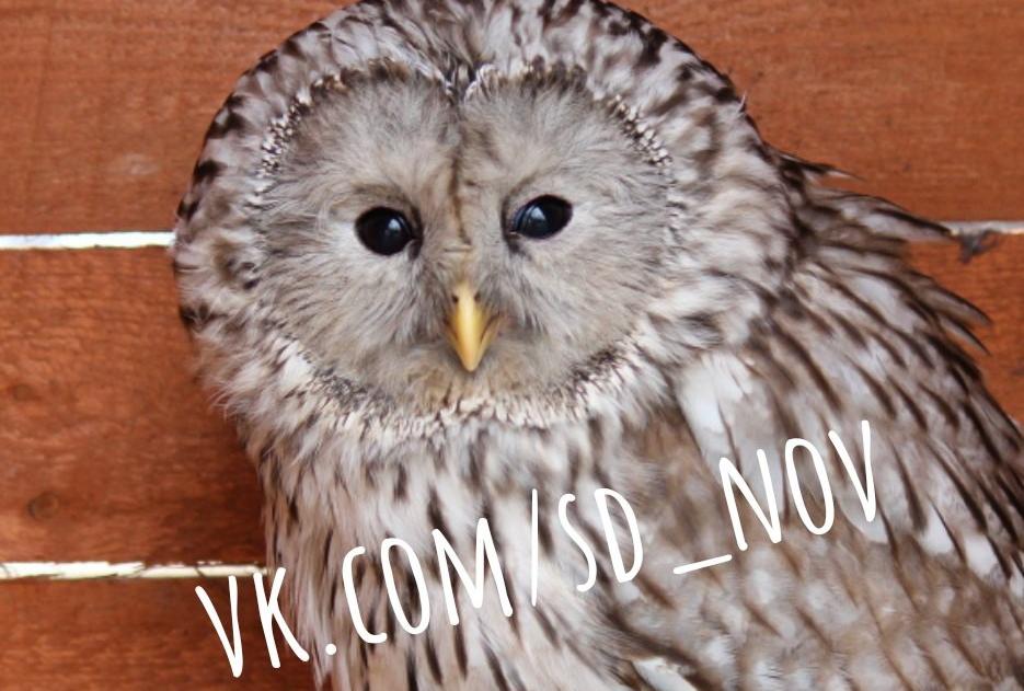 Соколиный двор просит новгородцев помочь найти сову-инвалида